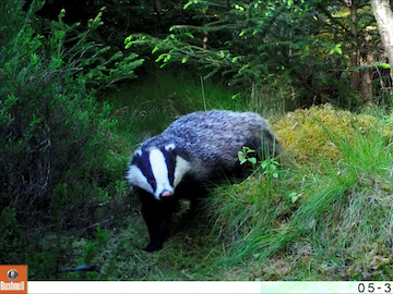 Badger on Wildlife Camera