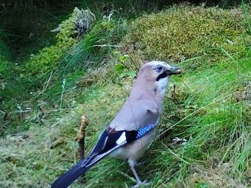 Jay on Wildlife Camera